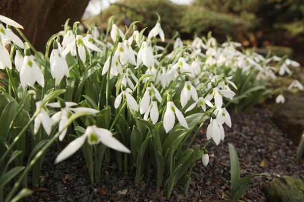 Подснежники расцвели в Королевском ботаническом саду Кью Гарден, Великобритания. Фото: Oli Scarff/Getty Images
