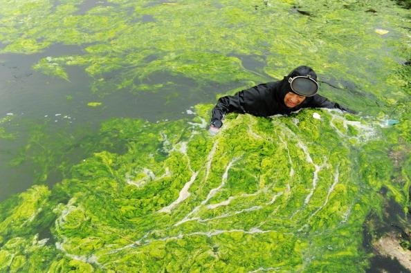 Водорості на узбережжі Циндао. Китайська провінція Шаньдун. Фото: ChinaFotoPress/Getty Images