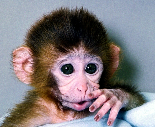 Генетично модифікована мавпа на ім'я Енді. Фото: by Oregon Regional Primate Research Center / Newsmakers