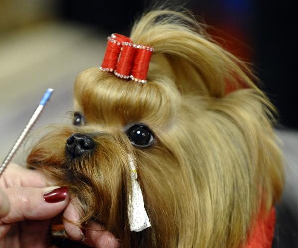 Выставка собак в Нью-Йорке. Йоркширский терьер. Фото: TIMOTHY A. CLARY/AFP/Getty Images