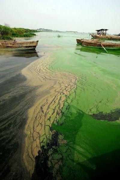 9 червня. Жителі м. Чаоху провінції Аньхой виловлюють із води синьо-зелених водорості, намагаючись очистити водоймища. Фото: Getty Images