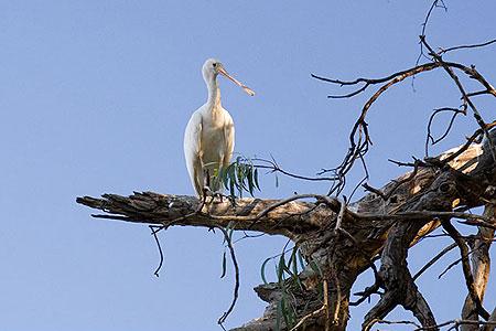 Эта птица называется 'ложкоклюв'. Фото: Сергей Ханцис