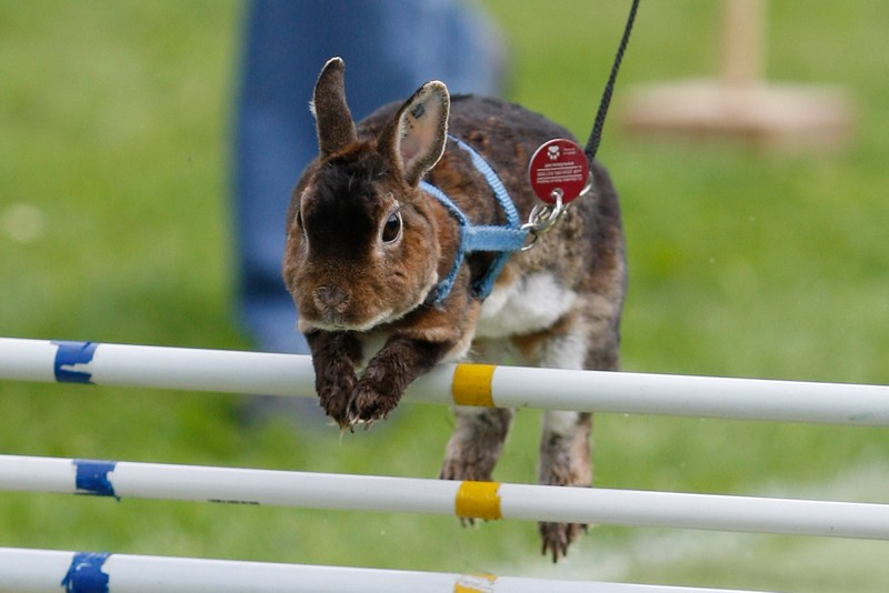П'ятий відкритий чемпіонат зі стрибків серед кроликів, Роммерц, Німеччина. Фото: Ralph Orlowski/Getty Images