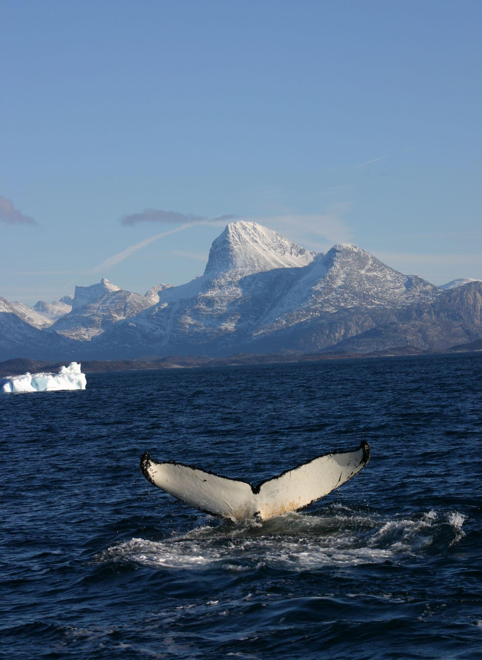 Китовий хвіст: цього водного мешканця можна побачити в околицях Нуука. Фото: Greenland Tourism /Anders Skov Hansen