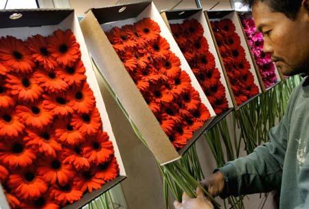 Рабочий укладывает цветы в ящики для дальнейшей транспортировки в Амстердам. Израиль, 5 февраля 2007г. Фото: David Silverman/Getty Images
