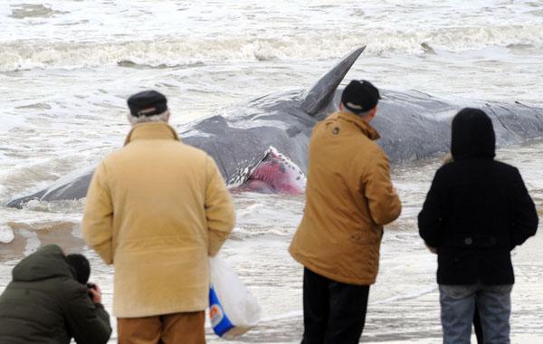 У південній частині Італії на берег викинуло 9 китів, два з яких все ще живі. Фото: MARIO LAPORTA / AFP / Getty Images