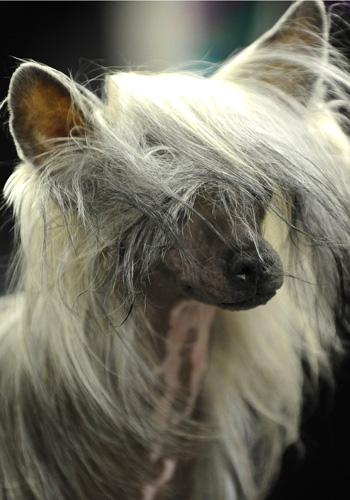 Выставка собак в Нью-Йорке. Китайская хохлатая. Фото: TIMOTHY A. CLARY/AFP/Getty Images