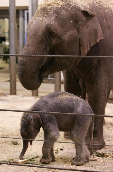 Новорожденный слоненок и его мама.Cидней. Зоопарк Таронга (Taronga Zoo).7 июля.Фото: Sergio Dionisio/Getty Image