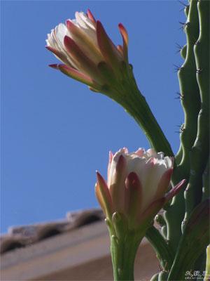 Цветущие кактусы. Фото: Ли Синь/Великая Эпоха