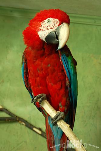 Попугаи ара достигают в длине почти 1 метра. Фото НОВЫЙ МОСТ.