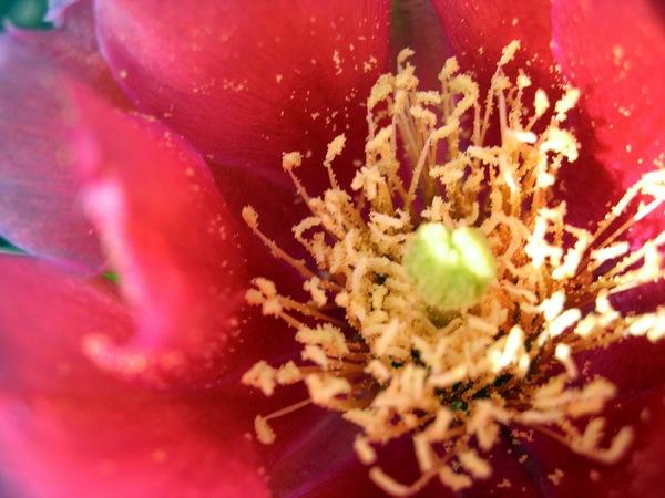 Цвітіння опунції на території Карадагської біостанції, селище Курортне. Фото: Алла Лавриненко/The Epoch Times Україна