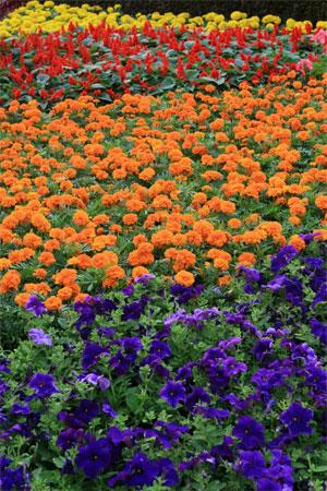 Бархатки на ежегодной Гонконгской выставке цветов. Фото: У Лянью/Великая Эпоха