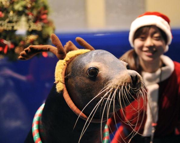 У Токіо проходять різдвяні виступи морських левів у водному центрі Aqua Stadium. Фото: YOSHIKAZU TSUNO / AFP / Getty Images