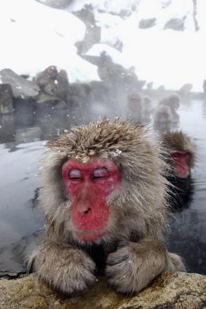 Коли температура повітря знижується до мінусової і землю покриває сніг, мавпи відігріваються в теплій воді, виставивши на поверхню рожеві мордочки. Фото: Koichi Kamoshida/Getty Images