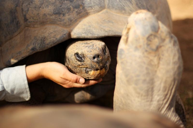 Ласку любят все, даже огромные галапагосские черепахи. Зоопарк «Западные равнины Таронга». Даббо, Австралия. Фото: Mark Kolbe/Getty Images