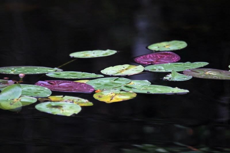Водяна лілія. Національний парк Еверглейдс, Флорида. Фото: Joe Raedle/Getty Images