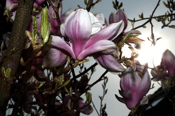 Магнолии цветут в Bensheim, Германия. Фото: Alex Grimm/Getty Images