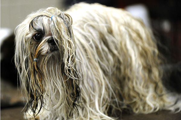 Выставка собак в Нью-Йорке. Ши-Тцу. Фото: TIMOTHY A. CLARY/AFP/Getty Images