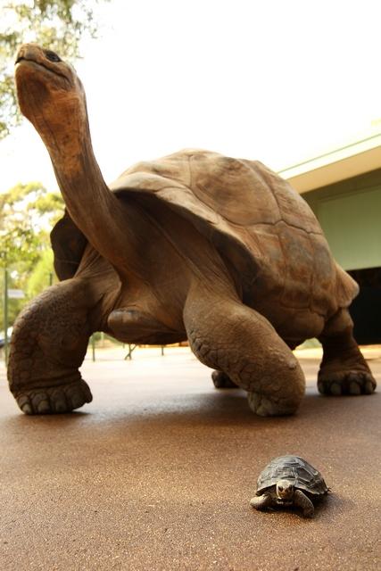 Справа внизу — годовалая галапагосская черепашка по имени NJ, совсем кроха на фоне взрослой черепахи. Зоопарк «Западные равнины Таронга». Даббо, Австралия. Фото: Mark Kolbe/Getty Images