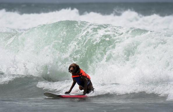 Соревнование собак-серфингистов на Императорском пляже возле Сан-Диего, Калифорния, Тихий океан. Фото: GABRIEL BOUYS/AFP/Getty Images