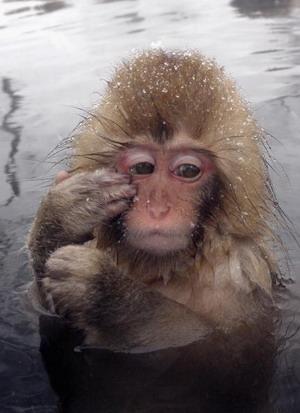 Ігодуканські макаки, що живуть на найбільшому острові Японії Хонсю, вважаються найпівнічнішими мавпами світу. Фото: Koichi Kamoshida/Getty Images
