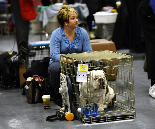 Выставка собак в Нью-Йорке. Бульдог. Фото: TIMOTHY A. CLARY/AFP/Getty Images
