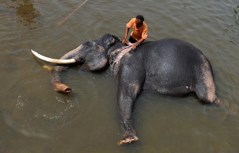 Пиннавела, Шри Ланка, 10 июня. Сотрудник приюта для слонов купает питомца в реке. В приюте Пиннавела содержится около 90 слонов. Это само большое количество диких слонов, живущих в условиях зоопарка. Фото: Ishara S.KODIKARA/AFP/Getty Images