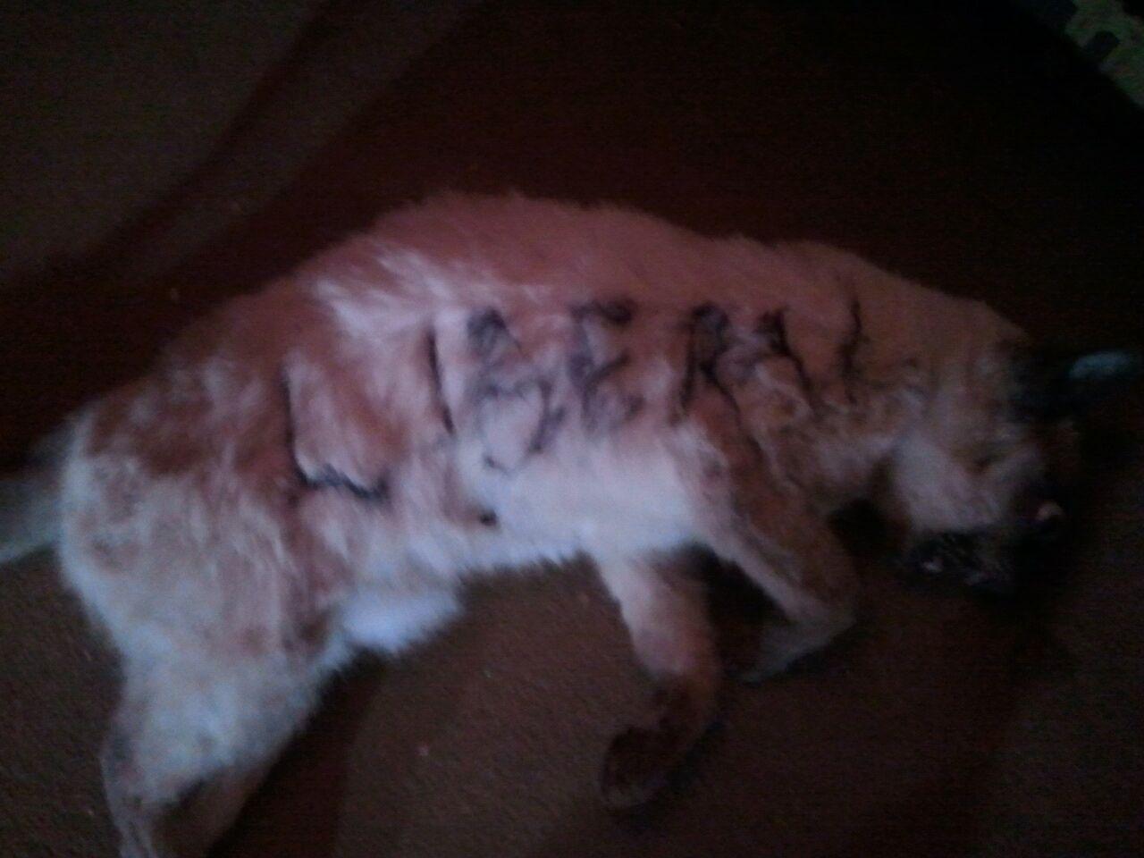 Сиамский кот стал жертвой предвыборной кампании американских политиков