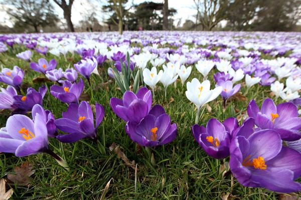 Крокусы в Королевском ботаническом саду Кью Гарден, Великобритания. Фото: Oli Scarff/Getty Images
