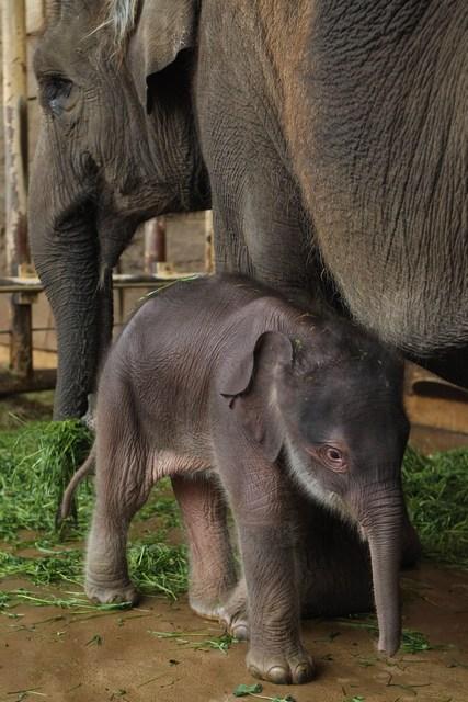 Слонёнок вместе со слонихой-мамой по имени Нова в Берлинском зоопарке. Фото: Sean Gallup/Getty Images