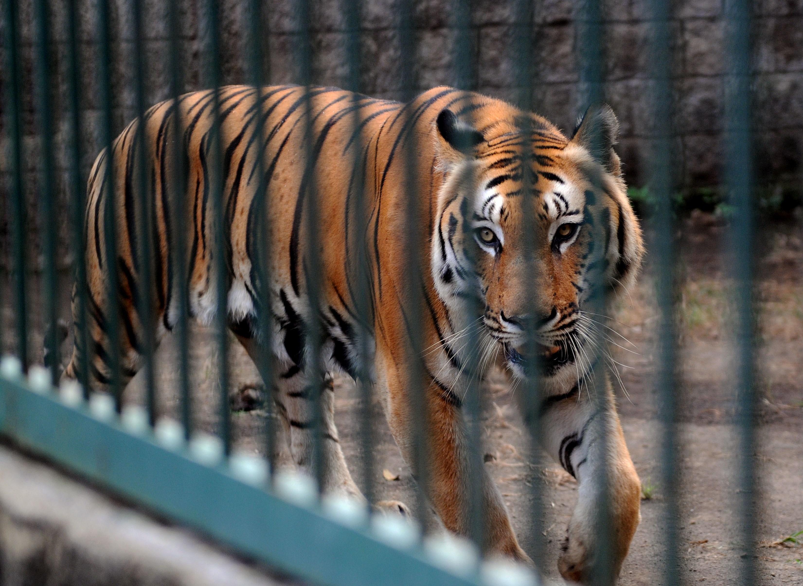 Тигр у Київському зоопарку поранив працівника