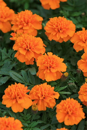 Оранжевые бархатки на ежегодной Гонконгской выставке цветов. Фото: У Лянью/Великая Эпоха