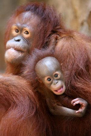 Джакарта. Орангутанг со своим детёнышем. Фото: Dimas Ardian /Getty Images