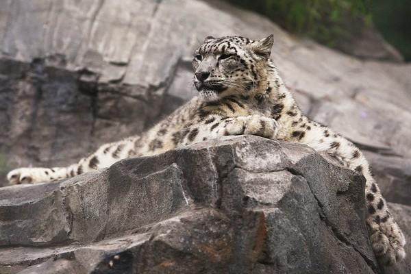 Снежный барс в зоопарке Нью-Йорка. Фото: Chris McGrath/Getty Images