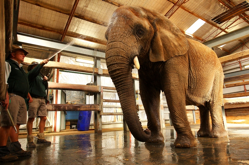 Купание африканской слонихи «Милашки». Зоопарк «Западные равнины Таронга». Даббо, Австралия. Фото: Mark Kolbe/Getty Images
