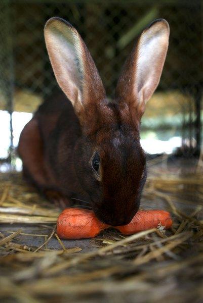 Кролик Семмі — непогано б попоїсти перед стартом. Фото: Ralph Orlowski/Getty Images