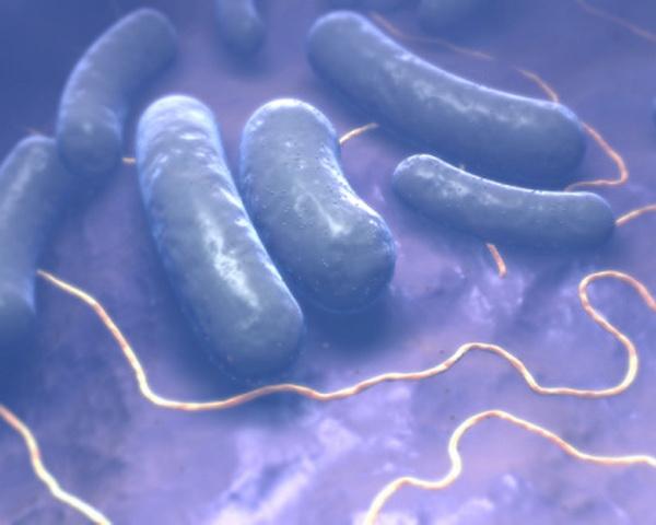 Це бацили. Палочковидні бактерії, що створють спори. Бацили є збудниками захворювань сибірської виразки, правця і ботулізму. Фото: Tina Carvalho/Getty Images