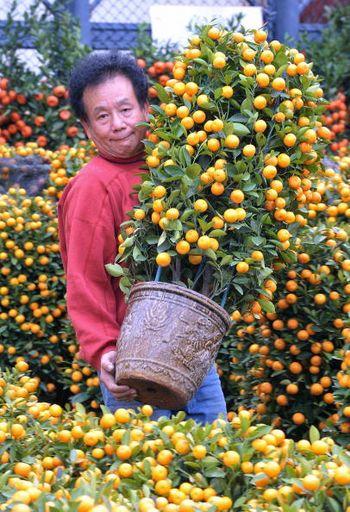 Дерево декоративних апельсин. Апельсини - символ щастя (по-китайськи слово «апельсин» вимовляється також, як і слово «щастя»). Фото: MIKE CLARKE/AFP/Getty Images
