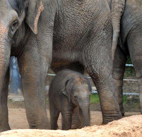 Слоненя Бебі вперше показалося публіці. Мельбурнський зоопарк (Melbourne Zoo), Австралія. 10 лютого 2010г.Фото: WILLIAM WEST / AFP / Getty Images