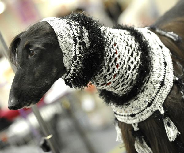 Выставка собак в Нью-Йорке. Афганская борзая. Фото: TIMOTHY A. CLARY/AFP/Getty Images