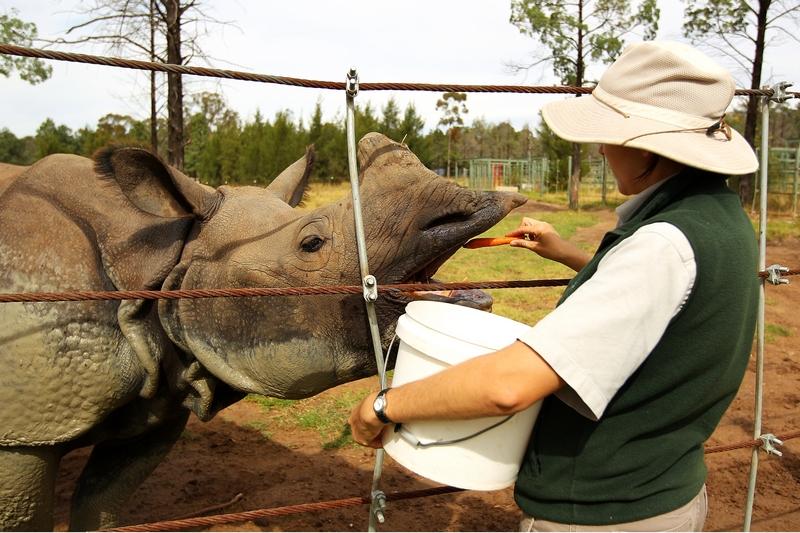 Морковка для индийского носорога. Зоопарк «Западные равнины Таронга». Даббо, Австралия. Фото: Mark Kolbe/Getty Images