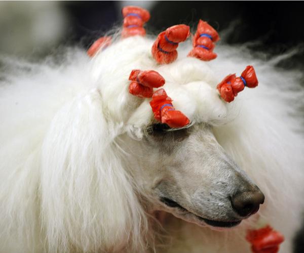 Выставка собак в Нью-Йорке. Пудель. Фото: TIMOTHY A. CLARY/AFP/Getty Images