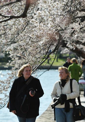 Фестиваль цвітіння вишні у Вашингтоні. Фото: MANDEL NGAN/AFP/Getty Images