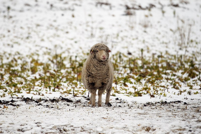 Нову Зеландію засипало снігом. Фото: Hannah Johnston/Getty Images