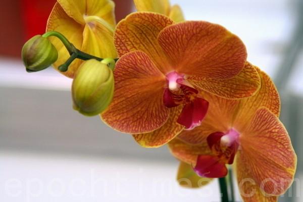 Виставка орхідей на острові Тайвань. Березень 2011 р. Фото: The Epoch Times