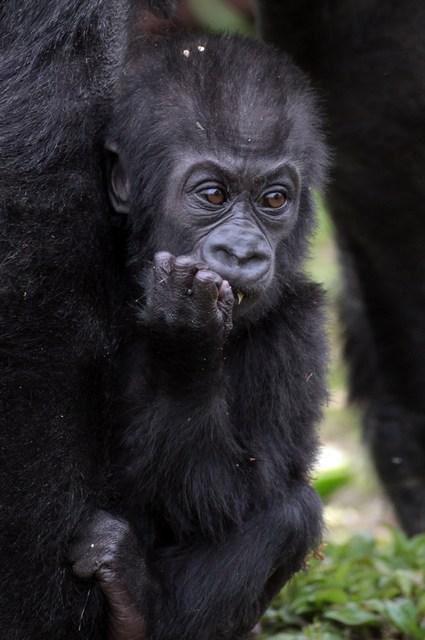 Горилла Саломея с детёнышем Кукеной в Бристольском зоопарке. Фото: Matt Cardy/Getty Images