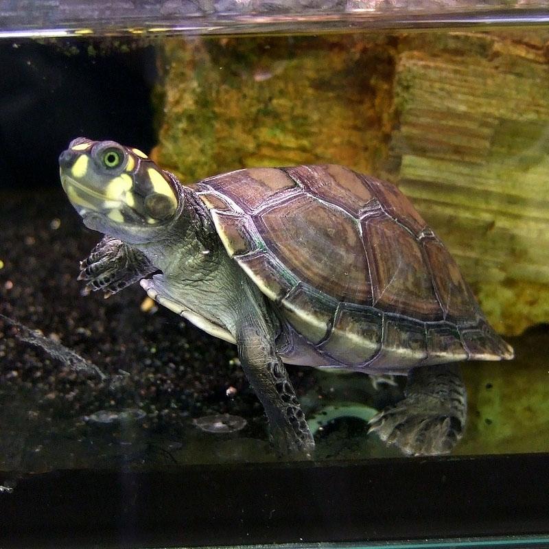 Гигантская амазонская речная черепаха. Фото: en.wikipedia.org