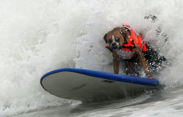 Соревнование собак-серфингистов на Императорском пляже возле Сан-Диего, Калифорния, Тихий океан. Фото: MARK RALSTON/AFP/Getty Images