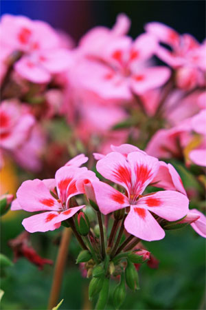 Розовая герань на ежегодной Гонконгской выставке цветов. Фото: У Лянью/Великая Эпоха