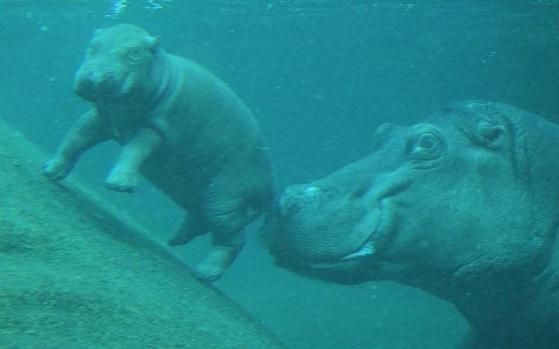 Бегемотиха Николь учит малышку плавать. Фото: Sean Gallup/Getty Images